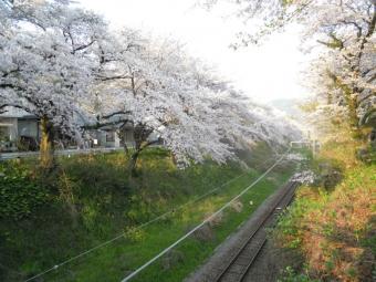 山北の桜170414