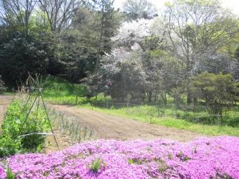 ふと見つけた大きな桜170416