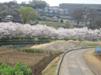 厳島湿生公園の桜170416
