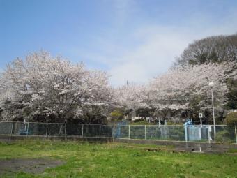 湿生公園そばの桜170416