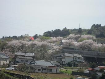 秦野二宮線の桜170416