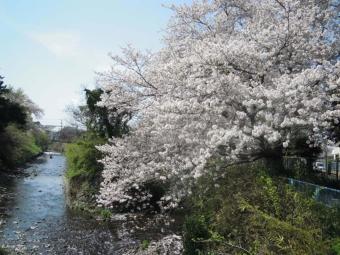 西友そばの桜170416