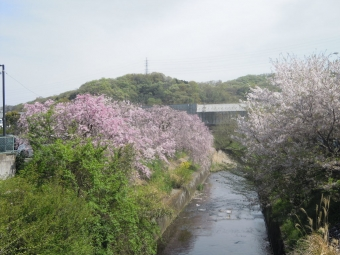 西友そばの桜ー2-170416
