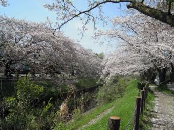 秦野二宮線に並行する奥まった道の桜170416