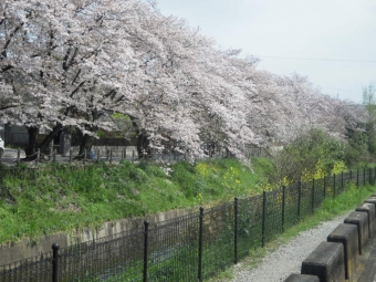 にのみや川沿いの桜170416