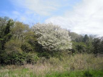 大磯湘南平に続く坂の途中の白い桜170416