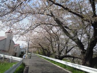 花水川沿いの桜170416