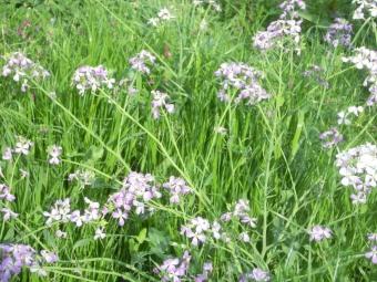 花水川土手の花これはちょっと紫っぽい170416