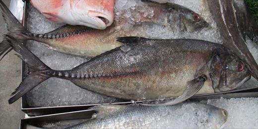 ギンガメアジ02