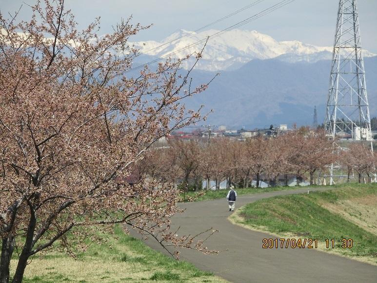 桜2017-1