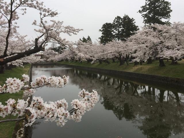 鶴岡公園 2017 桜1