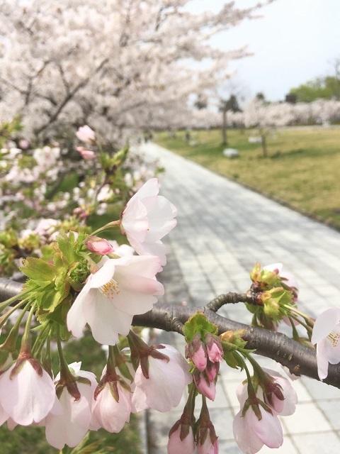 鶴岡公園 2017 桜2