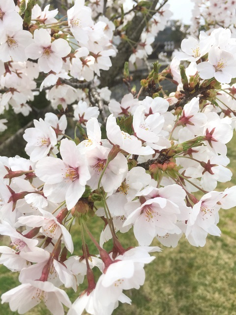鶴岡公園 2017 桜3