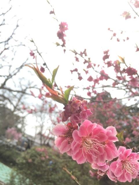 鶴岡公園 2017 梅