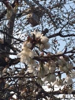 2017 03 29 ちびっこ広場桜開花