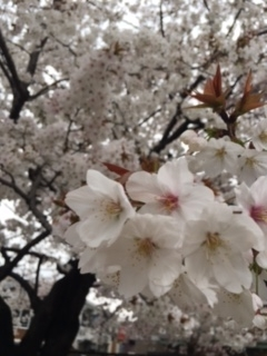 2017 04 05 桜