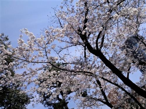 桜(2017)