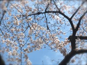お花見ピクニック20173