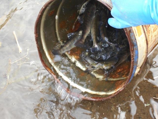 DSCN20630312家康関守橋上流に放流したヤマメのサイズ