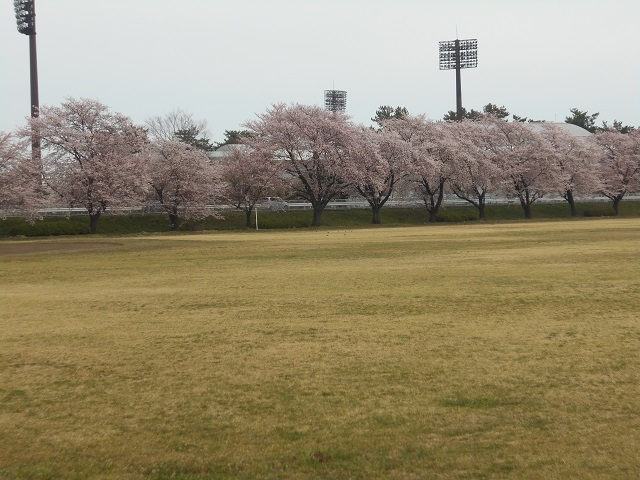 DSCN22010407管理棟後ろの桜並木.jpg