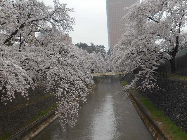 DSCN22080409柳原発電所放水路のサクラ.jpg
