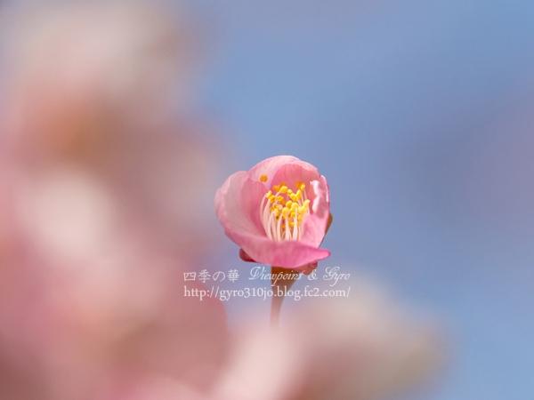 河津桜 J