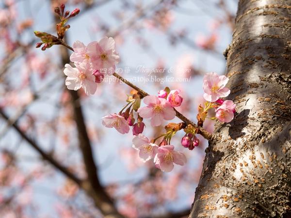河津桜 A