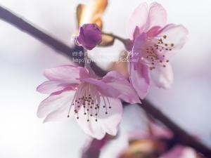 河津桜 G