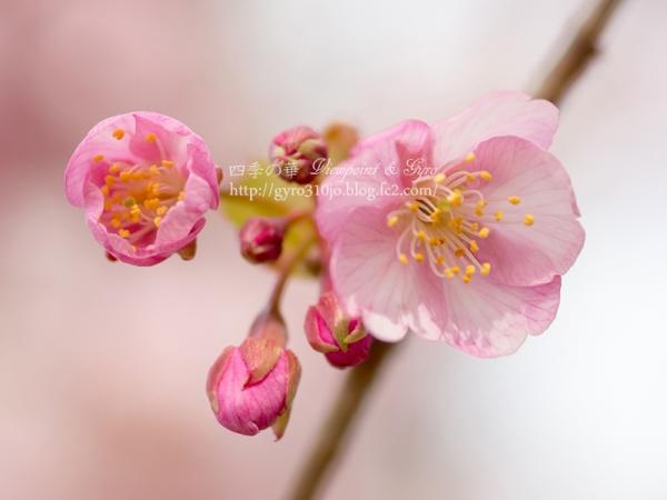河津桜 B