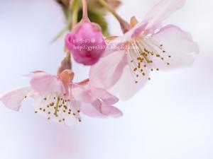 河津桜 H