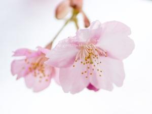 河津桜 I