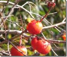 170225001 熟した柿の実を食べるメジロ