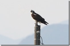 170322011 休息中のミサゴ(鵲)