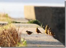 170322012 カワラヒワの群れ(鵲)