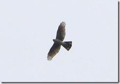 170322016 旋回しつつ移動するハイタカ(鵲)