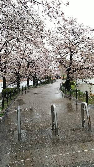 上野 桜2