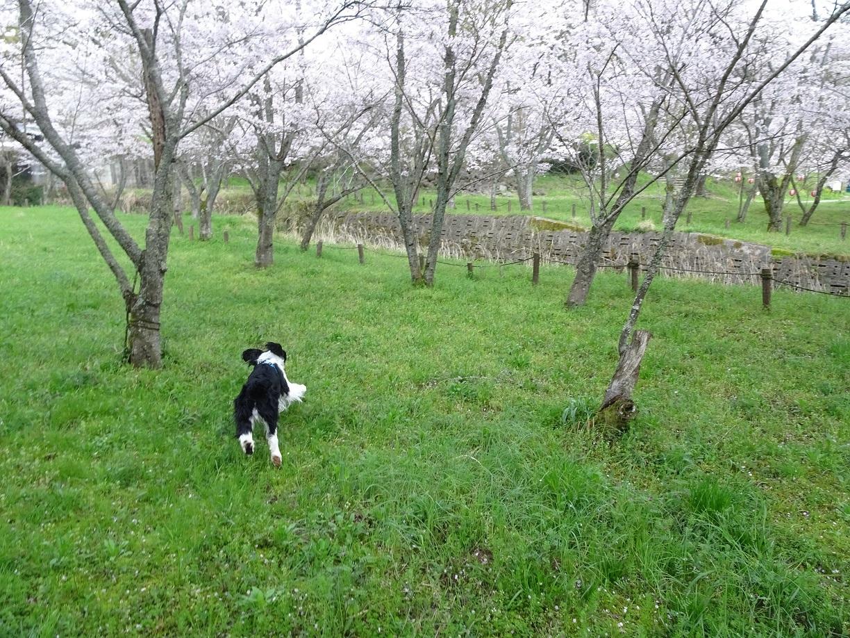 桜の下ですが