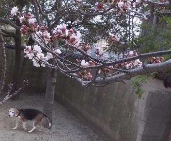 桜875-02
