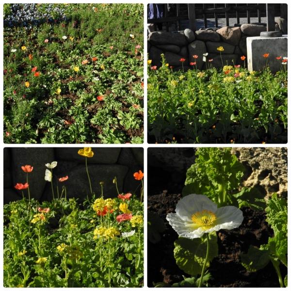 ポピーと菜の花
