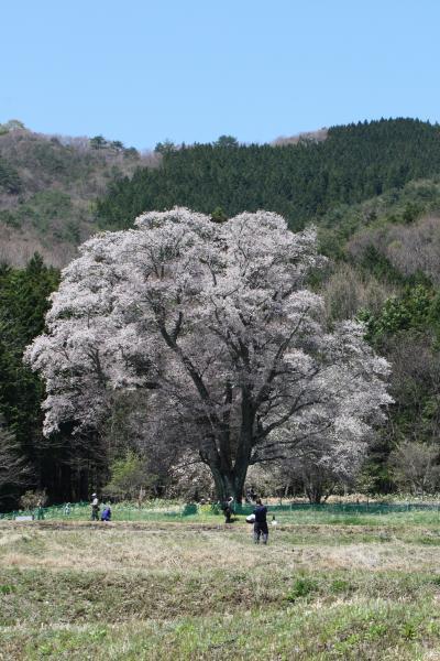 千鳥別尺の桜