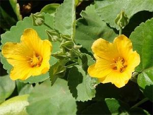 オアフ島の花