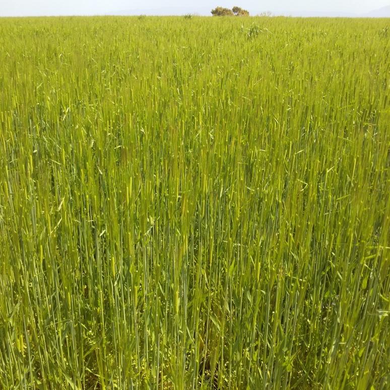 Barley 20170402