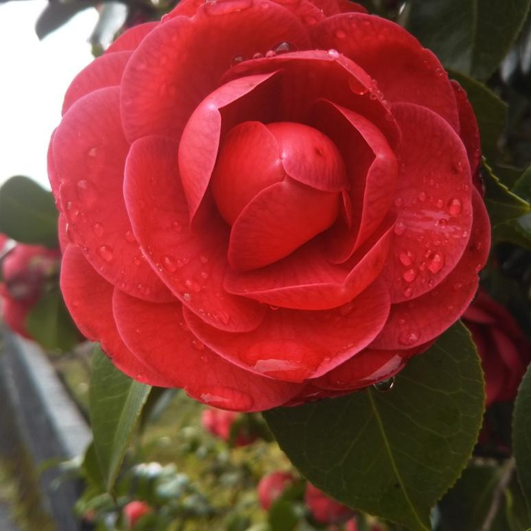 Camellia 20170407