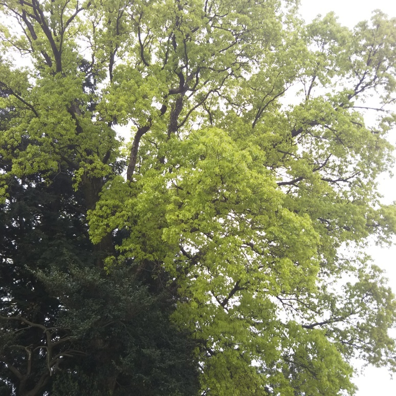 Camphor tree 20170420