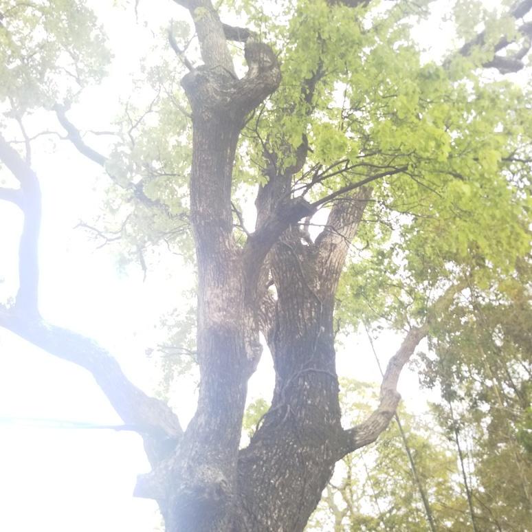 Camphor tree 20170425