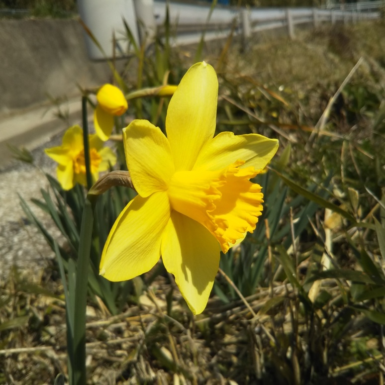 Daffodil 20170304