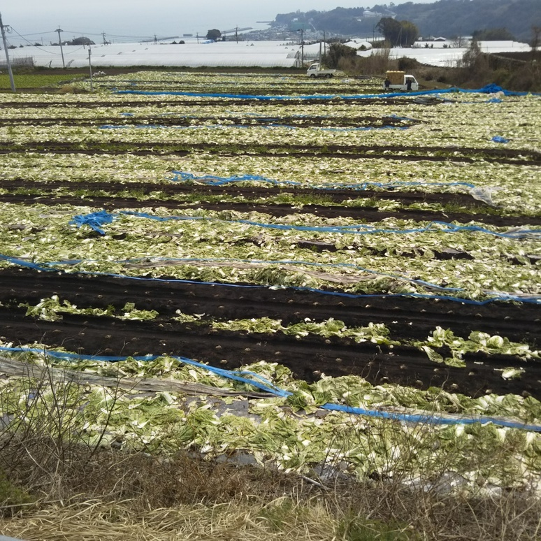 Farm chinese cabbage 20170322
