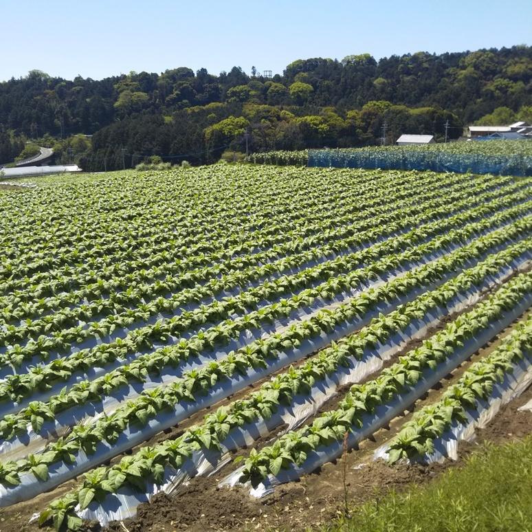Farm tobacco and sweetcorn 20170423