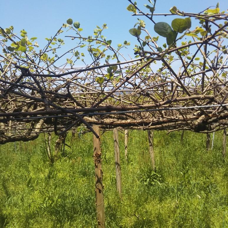 Kiwifruit 20170422-2