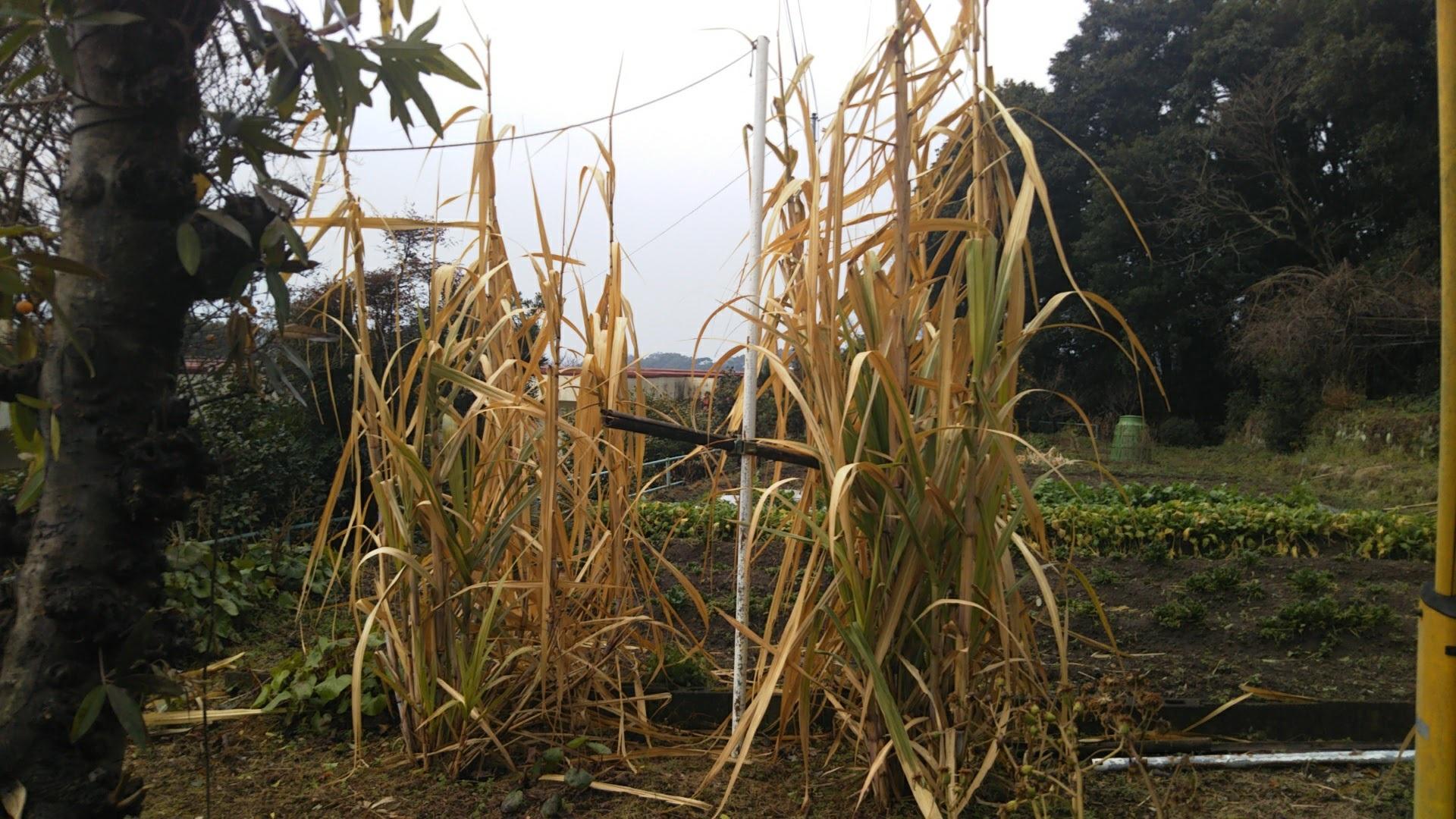 Sugarcane 20170220